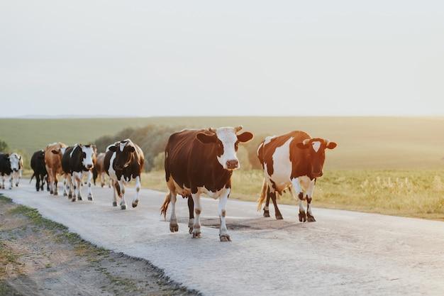 Um rebanho de vacas, enquanto eles estão relaxando em um estábulo.