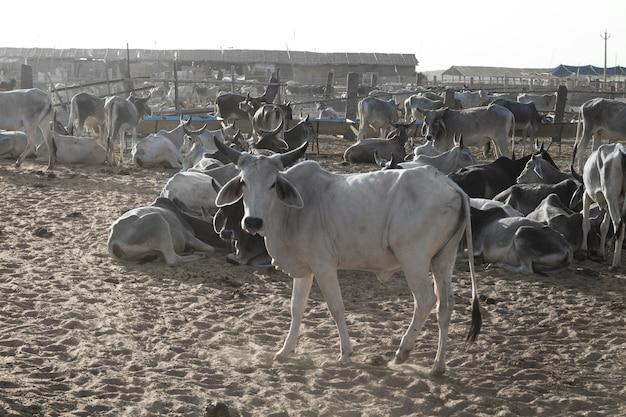 Um rebanho de vacas indianas perto monte monte abu em rajasthan, na índia