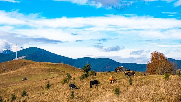 Um rebanho de vacas pastam em um local inundado de luz do sol e comem a grama no contexto da natureza dos cárpatos e do céu