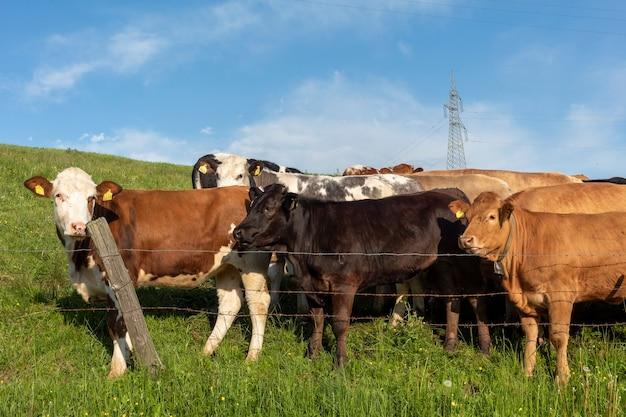 Um rebanho de vacas pastando próximas para se aquecer após uma tempestade nas montanhas.