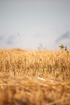 Um restolho de ouro do campo de trigo cortada contra um céu azul, foco seletivo
