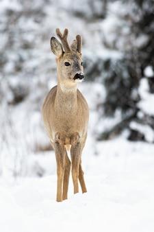 Um retrato de inverno de veado com chifres crescentes cobertos de veludo na floresta