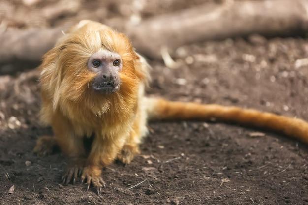 Um retrato de leontopithecus rosalia do mico-leão-dourado