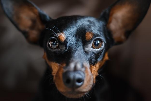 Um retrato de um cão de um pinscher diminuto, olha tristemente na câmera.