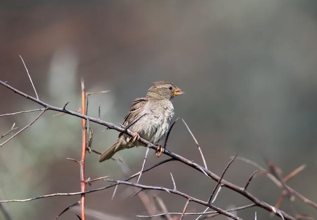 Um retrato de uma fêmea de pardal ou salgueiro (passer hispaniolensis) é filmado em um galho