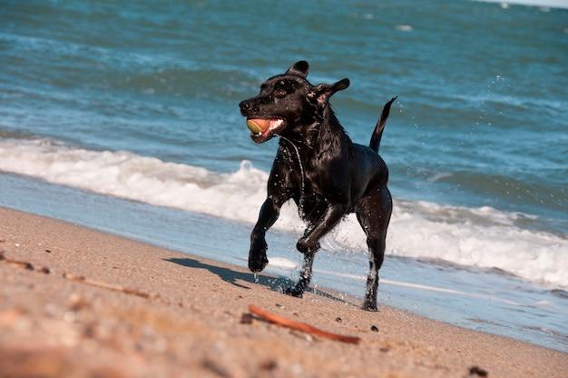 Um retriever preto jogando no surf