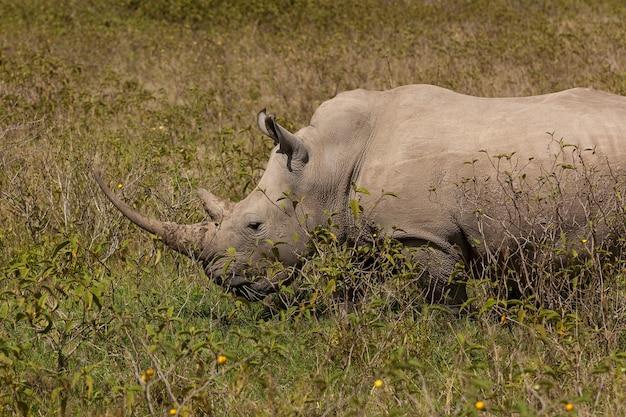 Um rinoceronte branco, safari, está no quênia