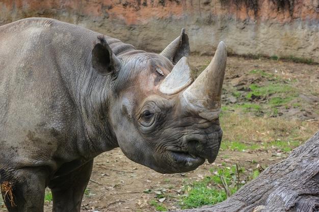 Um rinoceronte selvagem no parque ao ar livre da terra da grama verde.