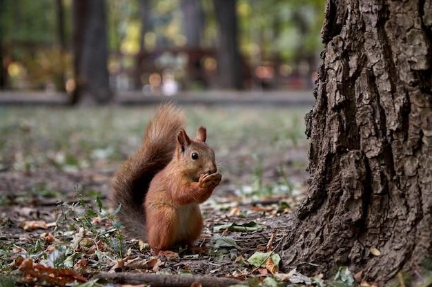 Um roedor esquilo fofinho no chão segura uma noz nas patas e come um fundo desfocado