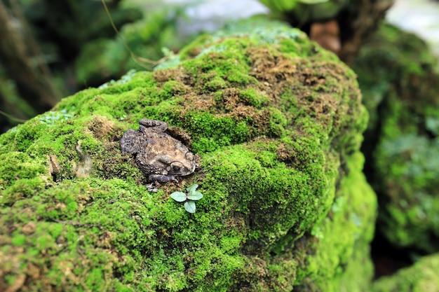 Um sapo escondeu-se em musgo coberto de rocha úmida.