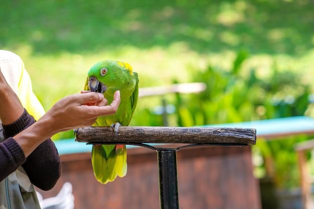Um show com pássaros em um parque de pássaros. um treinador com papagaios.
