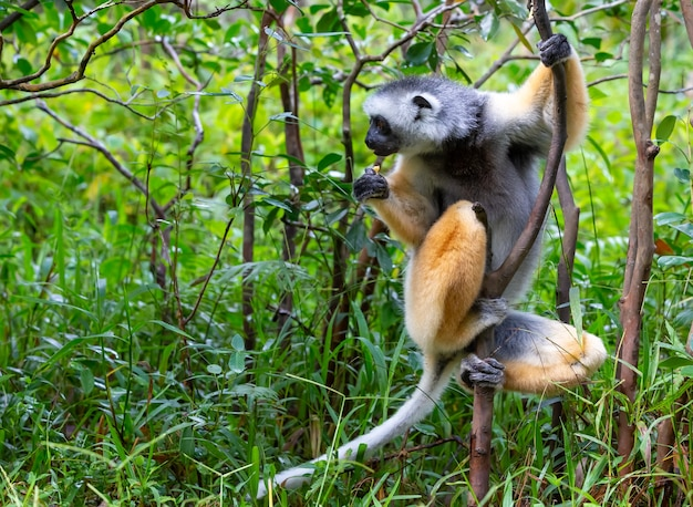 Um sifaka diademed em seu ambiente natural na floresta tropical da ilha de madagascar