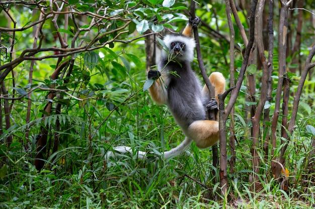 Um sifaka lemur na floresta tropical da ilha de madagascar