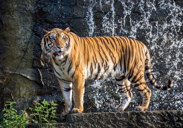 Um tigres fica na atmosfera da floresta