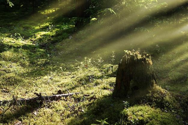Um toco de árvore na floresta com cogumelos, os raios do sol