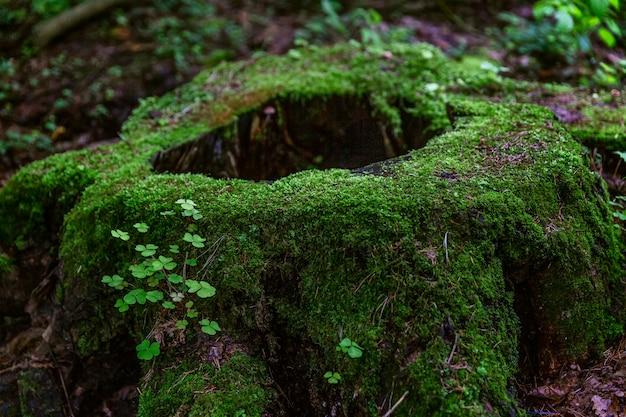 Um toco grande coberto com musgo verde grosso na floresta. vista fabulosa.