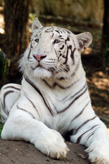 Um toger branco no zoológico