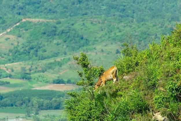 Um touro estava em perigo de caminhar para pastar em um penhasco em uma colina íngreme