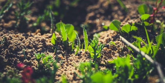 Um, trabalhador preto, formiga, (lasius, niger), arraste, areia, para, a, colônia