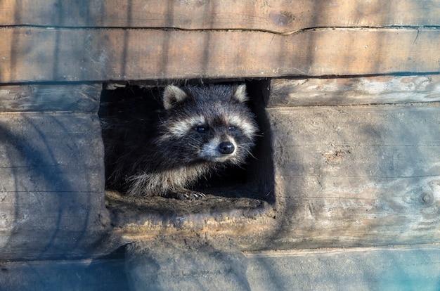 Um triste guaxinim, vivendo em uma gaiola em um zoológico