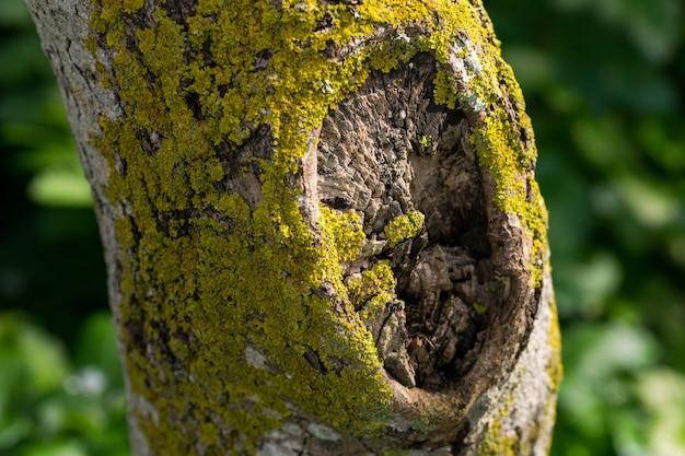 Um tronco de árvore coberto de musgo verde-amarelo e líquenes.