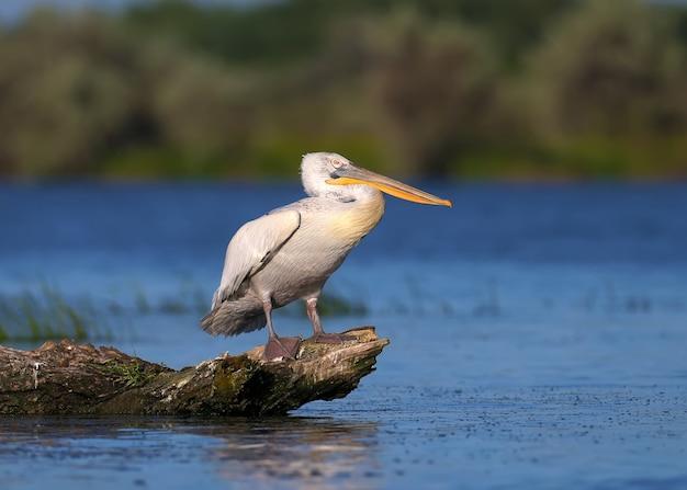 Um único e um par de pelicano dálmata (pelecanus crispus)