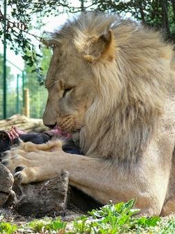 Um único leão macho comendo