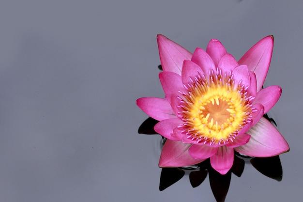 Um único lótus rosa na natureza