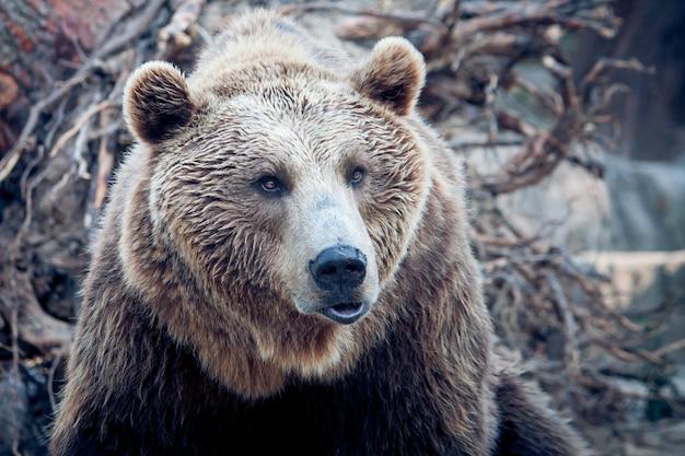 Um urso marrom na natureza