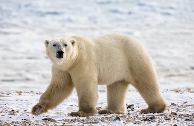 Um urso polar na tundra.