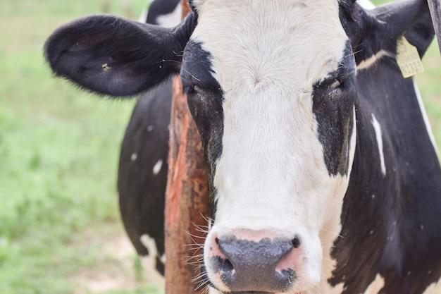 Um, vaca, em, farm., pretas, vaca, ligado, prado