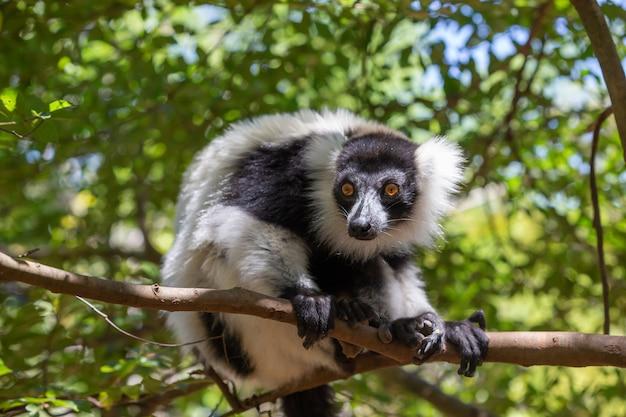 Um vari lemur preto e branco parece bastante curioso.