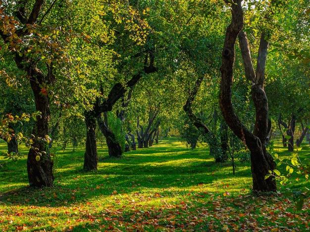 Um velho pomar de maçãs, árvores em uma fileira em um gramado verde.