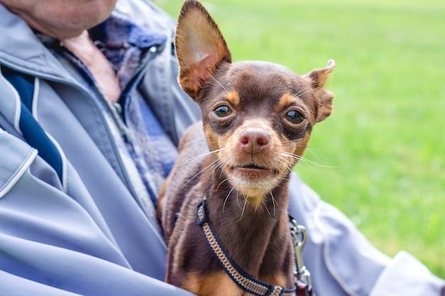 Um velho segura nas mãos um pequeno cão terrier toy terrier russo