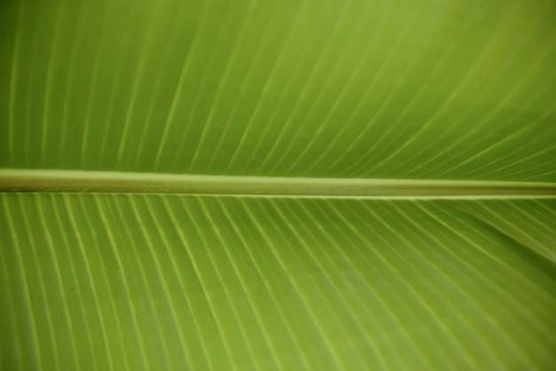 Um verde fresco folha de bananeira close-up