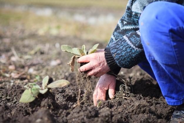 Um veterano veterano em atividade arrancando ervas daninhas de seu enorme jardim botânico; clareira; fazendo corretamente; trabalho duro