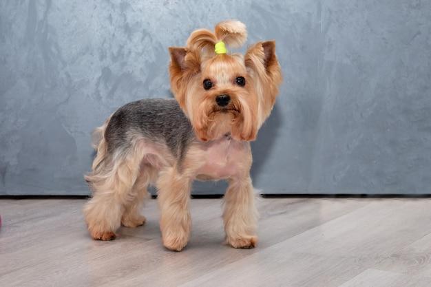 Um yorkshire terrier com uma pelagem curta. penteado para todos os dias.
