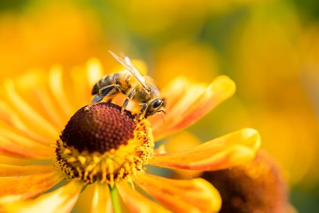 Uma abelha coleta néctar da flor do jardim