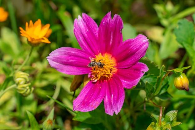 Uma abelha coleta néctar de uma flor rosa
