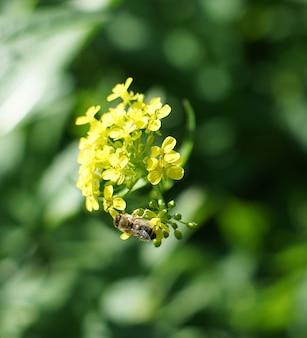 Uma abelha coleta pólen de uma flor amarela no verão