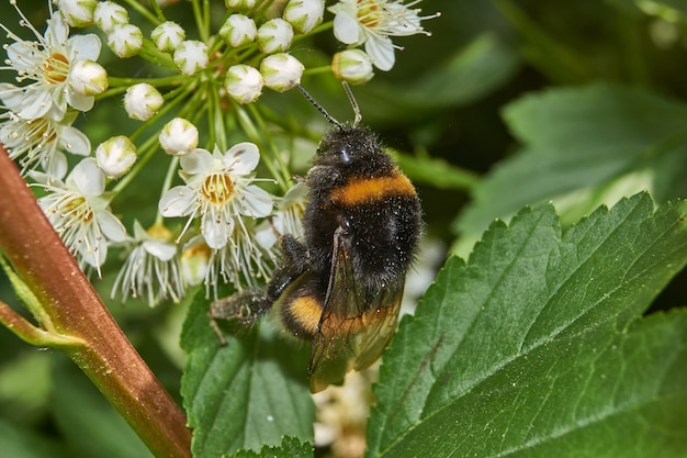 Uma abelha coleta pólen e néctar das flores de um arbusto de spirea.