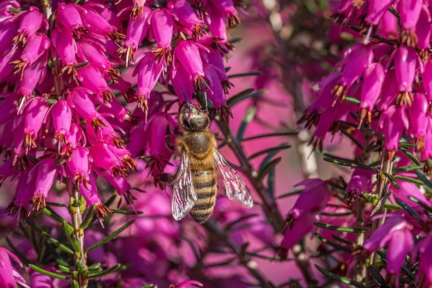 Uma abelha coletando néctar em lindas flores roxas da família da loosestrife e da romã