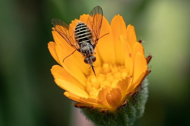 Uma abelha coletando néctar em uma flor de calêndula