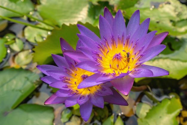 Uma abelha em uma flor de lótus
