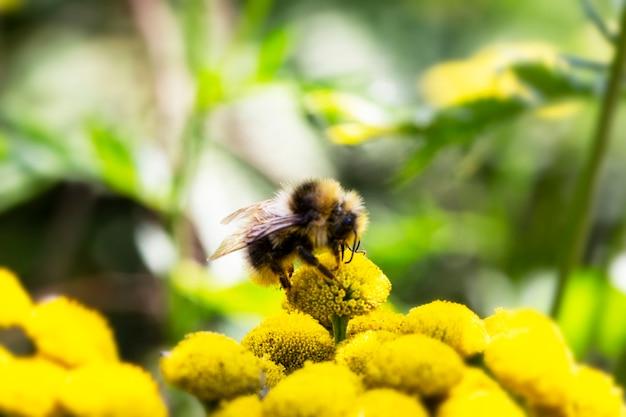 Uma abelha explorando uma flor de grama tanacetum vulgare, uma abelha em uma flor amarela se alimenta de néctar no verão e coleta mel