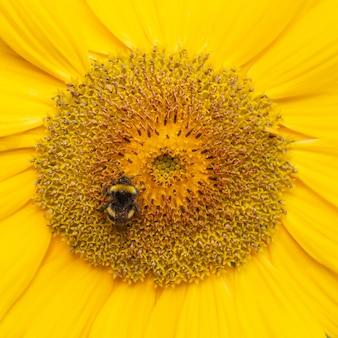 Uma abelha pairando ao coletar pólen da flor de girassol