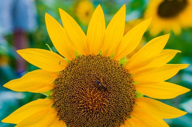 Uma abelha pairando sobre um girassol. fim de girassol, foco seletivo em fundo desfocado