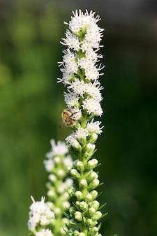 Uma abelha pousada em uma flor de liatris.