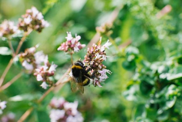Uma abelha pousada em uma flor lilás de orégano