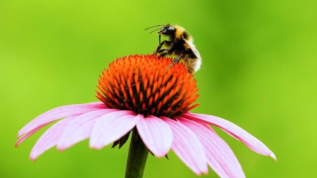 Uma abelha senta-se em uma flor de equinácea e se lava. polinização de um close-up de flor.